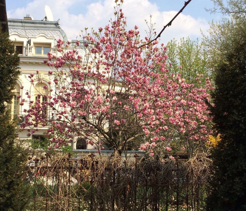 magnolia din ioanid